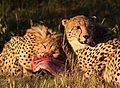 Cheetah, Acinonyx jubatus, at Pilanesberg National Park, Northwest Province, South Africa. (26977234783).jpg