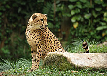 Cheetah in Singapore Zoo 290706.jpg
