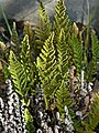 Cheilanthes fendleri 1.jpg