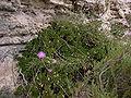 Cheirolophus crassifolius Malta Dingli Cliffs 02.jpg