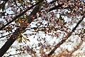 Cherry - panoramio (1).jpg
