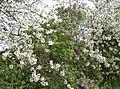 Cherry Blossom - geograph.org.uk - 436483.jpg