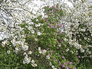 Cherry Blossom 21st April and the cherry bloss...