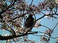 Cherry Blossom DC 2014 (14097672671).jpg