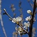 Cherry blossom (17080446418).jpg