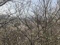 Cherry blossoms in Sasayama Park 24.jpg