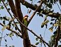 Chestnut-headed Bee-eater (Merops leschenaulti) in Kinnarsani WS, AP W IMG 5826.jpg
