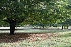 Chestnut tree02.jpg