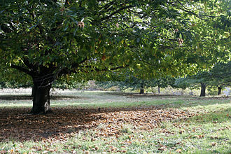 Chestnut tree02.jpg