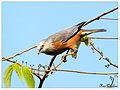 Chetnut Tailed Starling (Sturnia malabarica).JPG