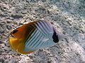 Chevroned Butterflyfish.JPG