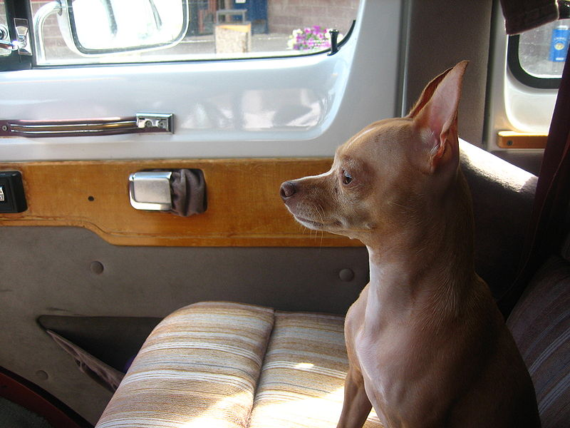 File:Chihuahua waiting in vehicle IMG 0541.JPG