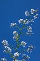 Chile - Santiago 28 - summer flowers (6977795549).jpg