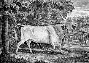 White Park cattle - Wood engraving by Thomas Bewick of a Chillingham Bull, 1789