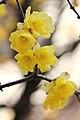 Chimonanthus praecox of Chiba; February 2012.jpg