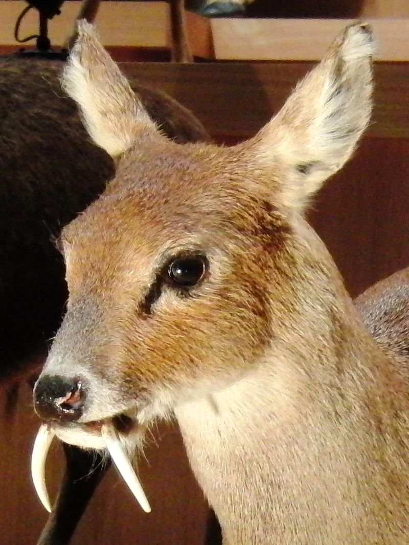 https://upload.wikimedia.org/wikipedia/commons/thumb/2/2b/Chinese_water_deer_Stuffed_specimen_2.jpg/800px-Chinese_water_deer_Stuffed_specimen_2.jpg