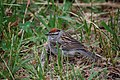 Chipping Sparrow (5815044787).jpg