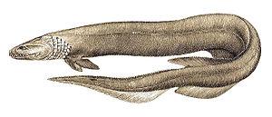 Hexanchiformes - Frilled shark, (Chlamydoselachus anguineus)