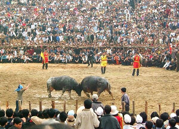 Quang cảnh một cuộc chọi trâu ở xã Hải Lưu, huyện Lập Thạch, tỉnh Vĩnh Phúc