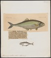 Chorinemus saliens - 1700-1880 - Print - Iconographia Zoologica - Special Collections University of Amsterdam - UBA01 IZ13500445.tif