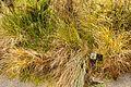 Christchurch Botanic Gardens, New Zealand section, Carex secta tussock grass 2016-02-04.jpg