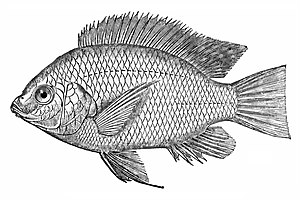 Kosher animals - Nile tilapia, Oreochromis niloticus, Kosher fish
