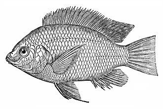 Tilapia - Nile tilapia (Oreochromis niloticus)