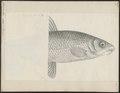 Chrondrostoma nasus - 1700-1880 - Print - Iconographia Zoologica - Special Collections University of Amsterdam - UBA01 IZ14900069.tif