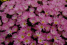 Chrysanthemum 'Dance'.JPG