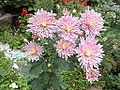 Chrysanthemum morifolium-yercaud-salem-India.JPG