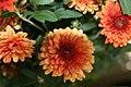 Chrysanthemum x Jennifer 0zz.jpg