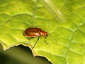 Chrysomelidae indet. from W-Java (6931977157).jpg