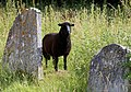 Church of St Mary the Virgin, Shipley, West Sussex, England ~ churchyard sheep 05.JPG