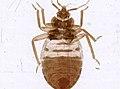 Cimex lectularius (YPM IZ 093692).jpeg