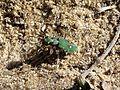 Cincindela campetris Tiger beetle - Flickr - gailhampshire.jpg