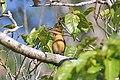 Cinnamon-banded Kingfisher (Todiramphus australasia).jpg