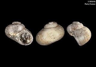 <i>Cirsonella</i> Genus of gastropods