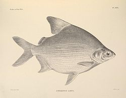 Citharinus latus n90 w1150.jpg
