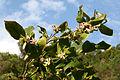 Citrus x Limon JPG1b.jpg