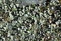 Cladonia.deformis.jpg