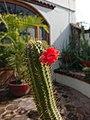 Cleistocactus samaipatanus floreando.jpg