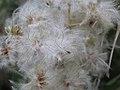 Clematis vitalba - Starceva brada (1).jpg