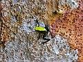 Climbing Mantella (Mantella laevigata) (7112675173).jpg