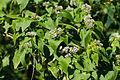 Climbing hempweed (21229018053).jpg