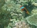 File:Clownfish in anemone off Vanuatu.ogv