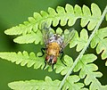 Cluster Fly Calliphoridae (25888911888).jpg