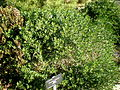 Cneorum tricoccon 1c.JPG