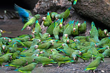 Cobalt-winged Parakeets (Brotogeris cyanoptera).jpg