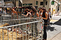 Cochonnets au marché de Digne.jpg