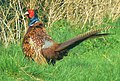 Cock pheasant, near Rockley, Marlborough - geograph.org.uk - 385532.jpg
